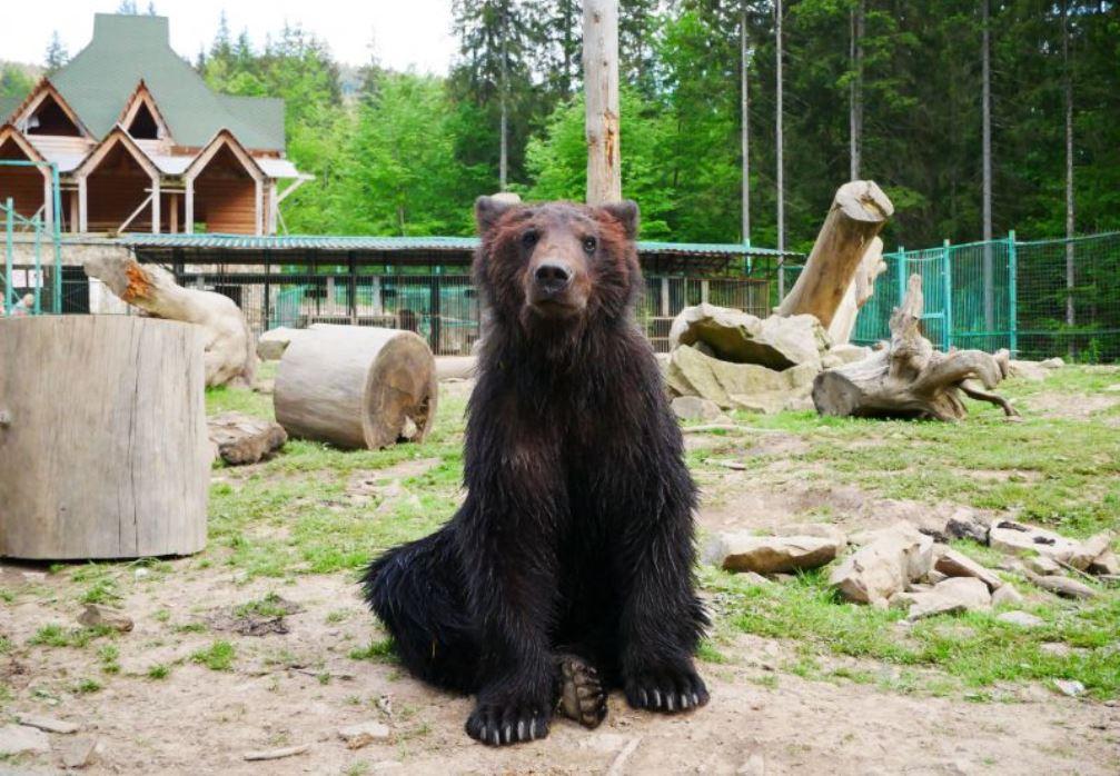 приют для бурых медведей возле Синевира