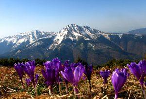 Чарующие карпатские цветы